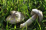 Mealy Pinkgill (Entoloma prunuloides)